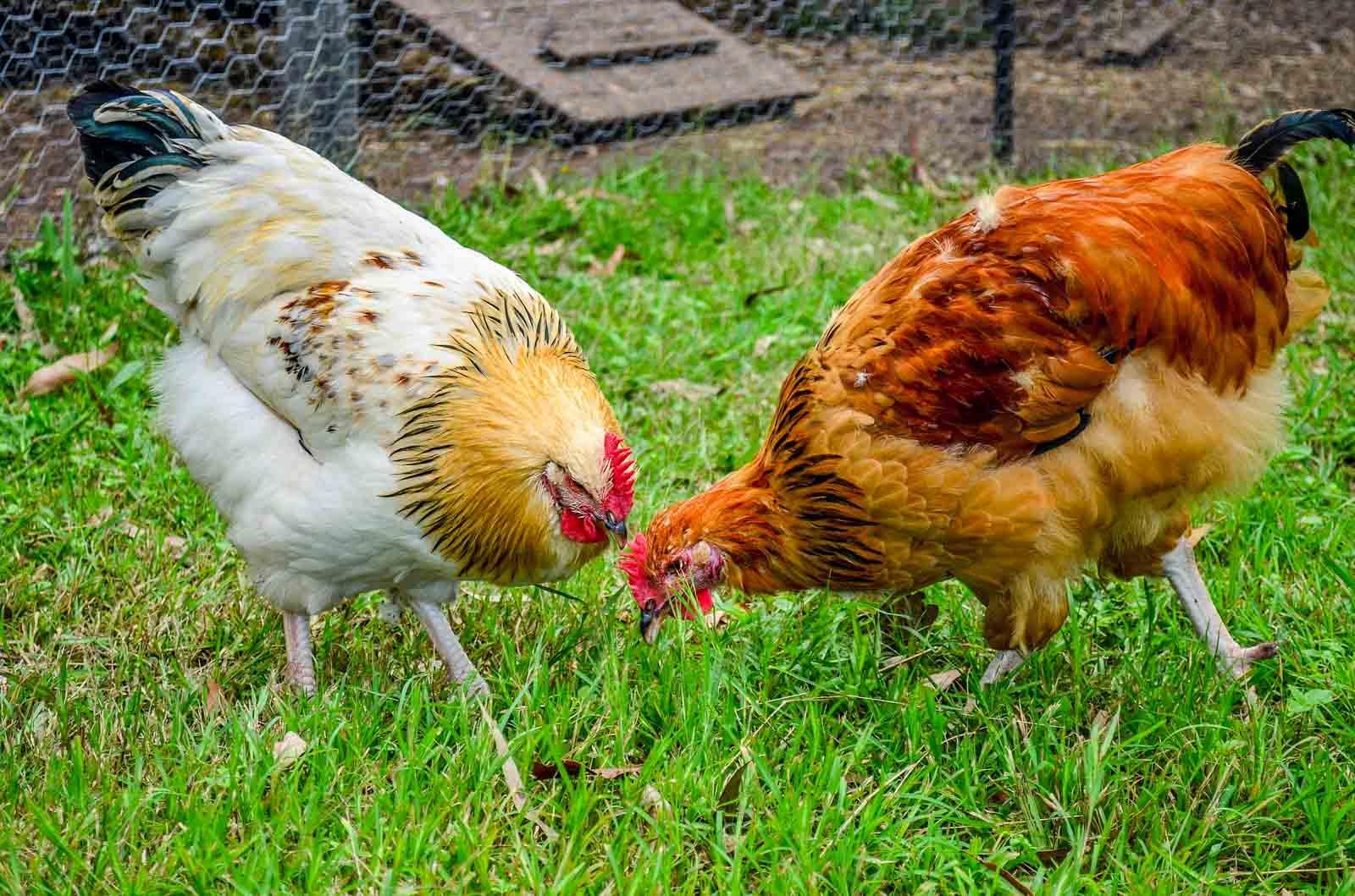 Deux poules qui picorent dans l'herbe