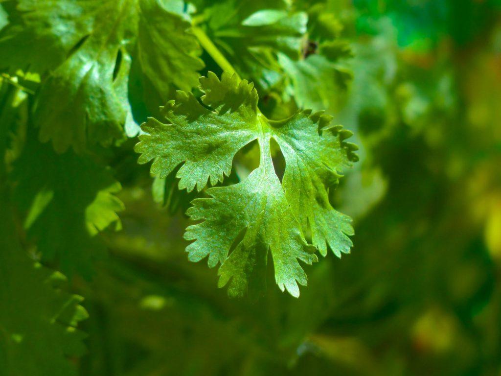 Feuille de coriandre, herbe aromatique appréciée du lapin