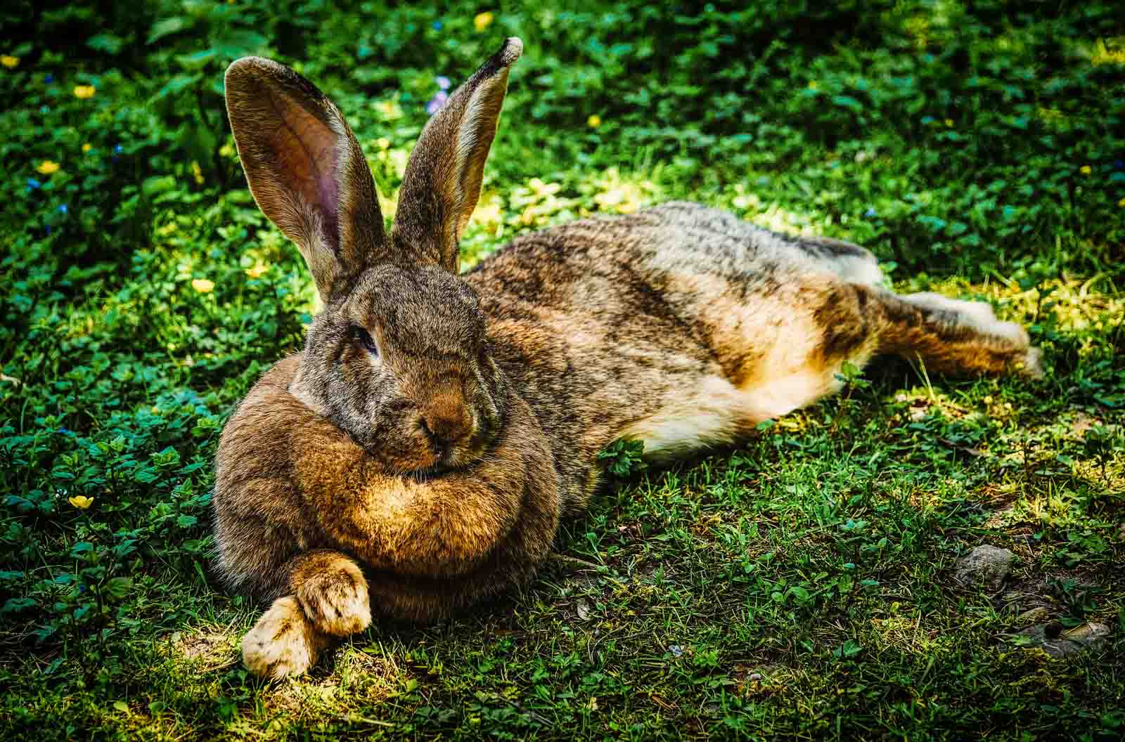 Grand lapin allongé dehors dans l'herbe