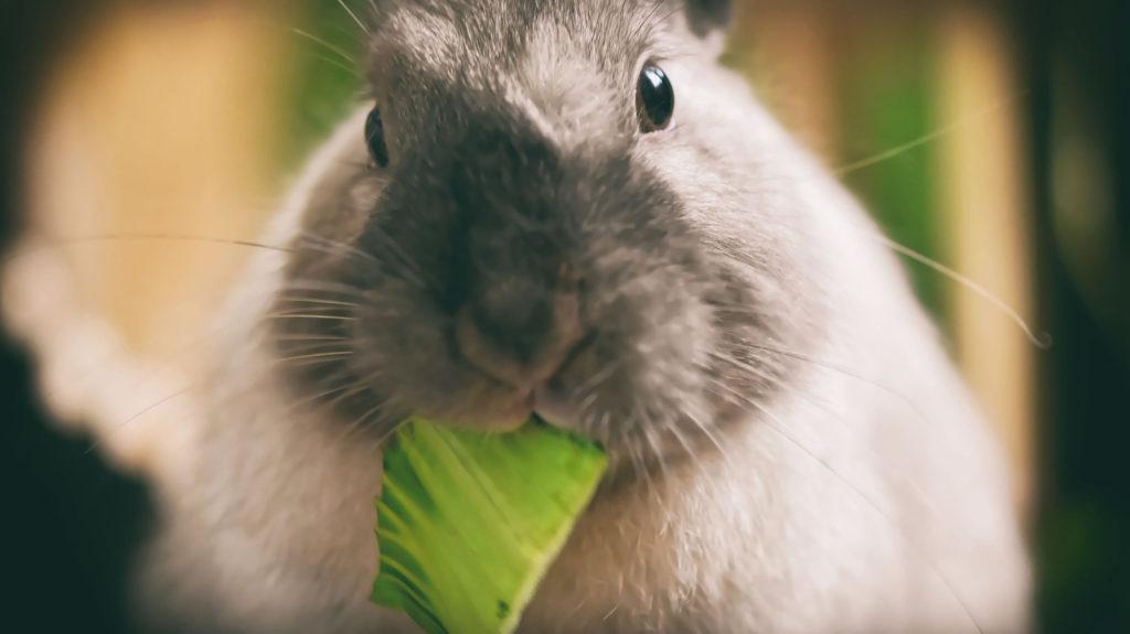 Tête d'un lapin qui mange une feuille