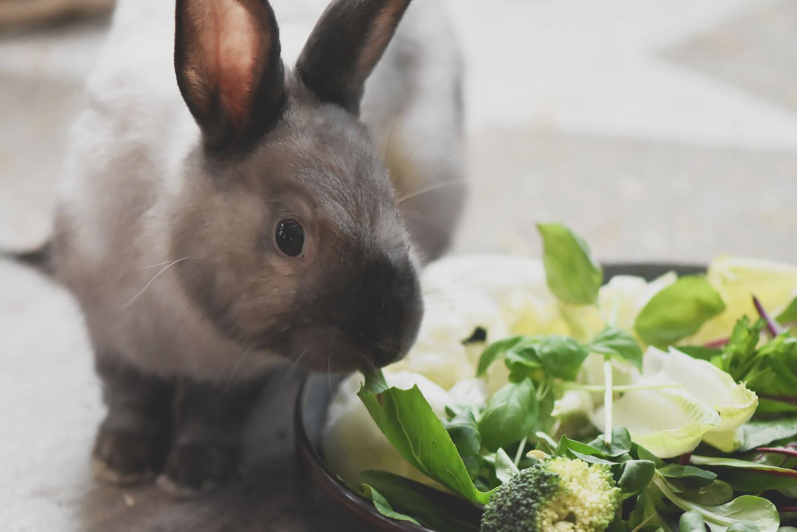 Lapin devant une gamelle de pousses et de feuilles de légumes