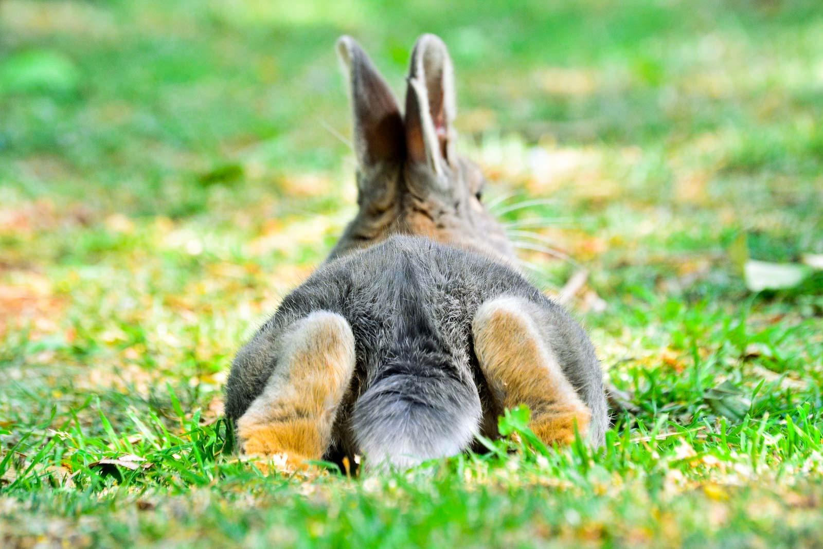 Lapin allongé dehors dans l'herbe