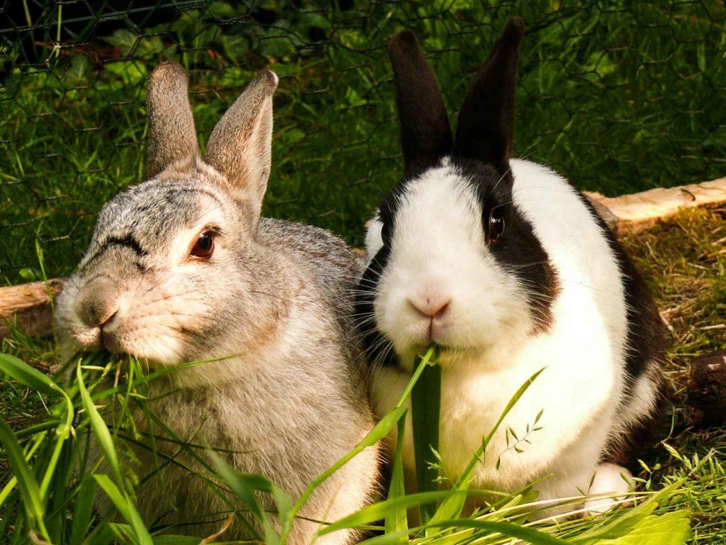 Deux lapins mangent des brins d'herbe