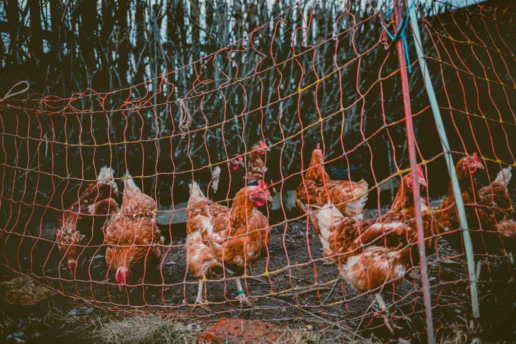 Filet simple qui délimite le parc à poules