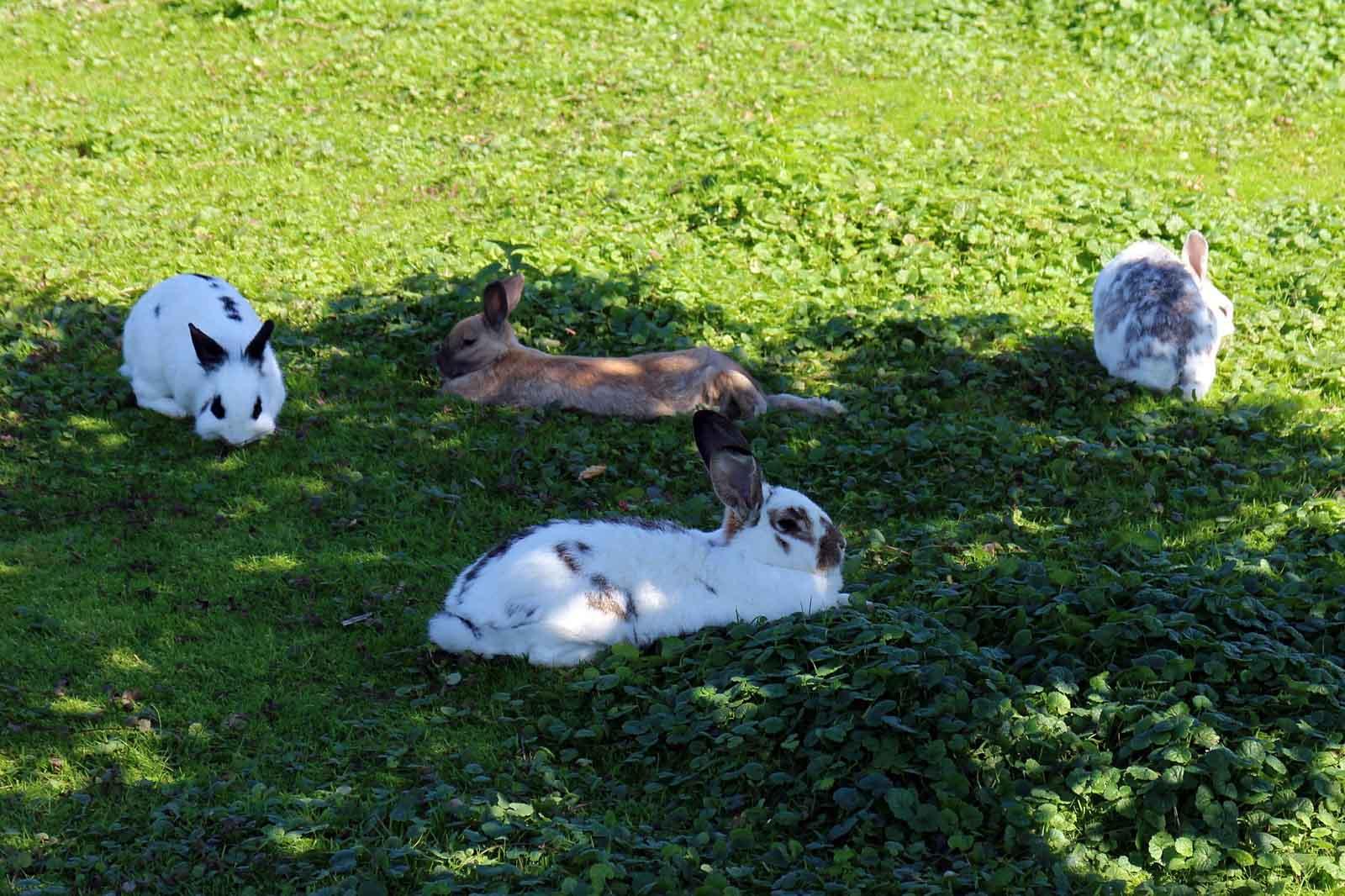 Lapins se reposant à l'extérieur dans l'herbe