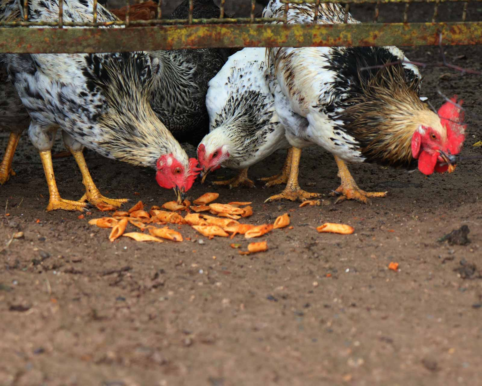 Poules qui mangent de la nourriture par terre