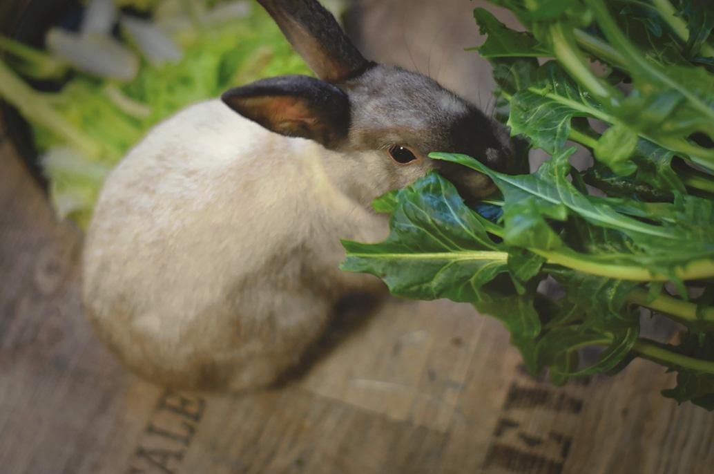 Lapin mange de la verdure