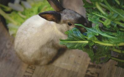 Ne goinfrez pas votre lapin ! Découvrez comment équilibrer son alimentation