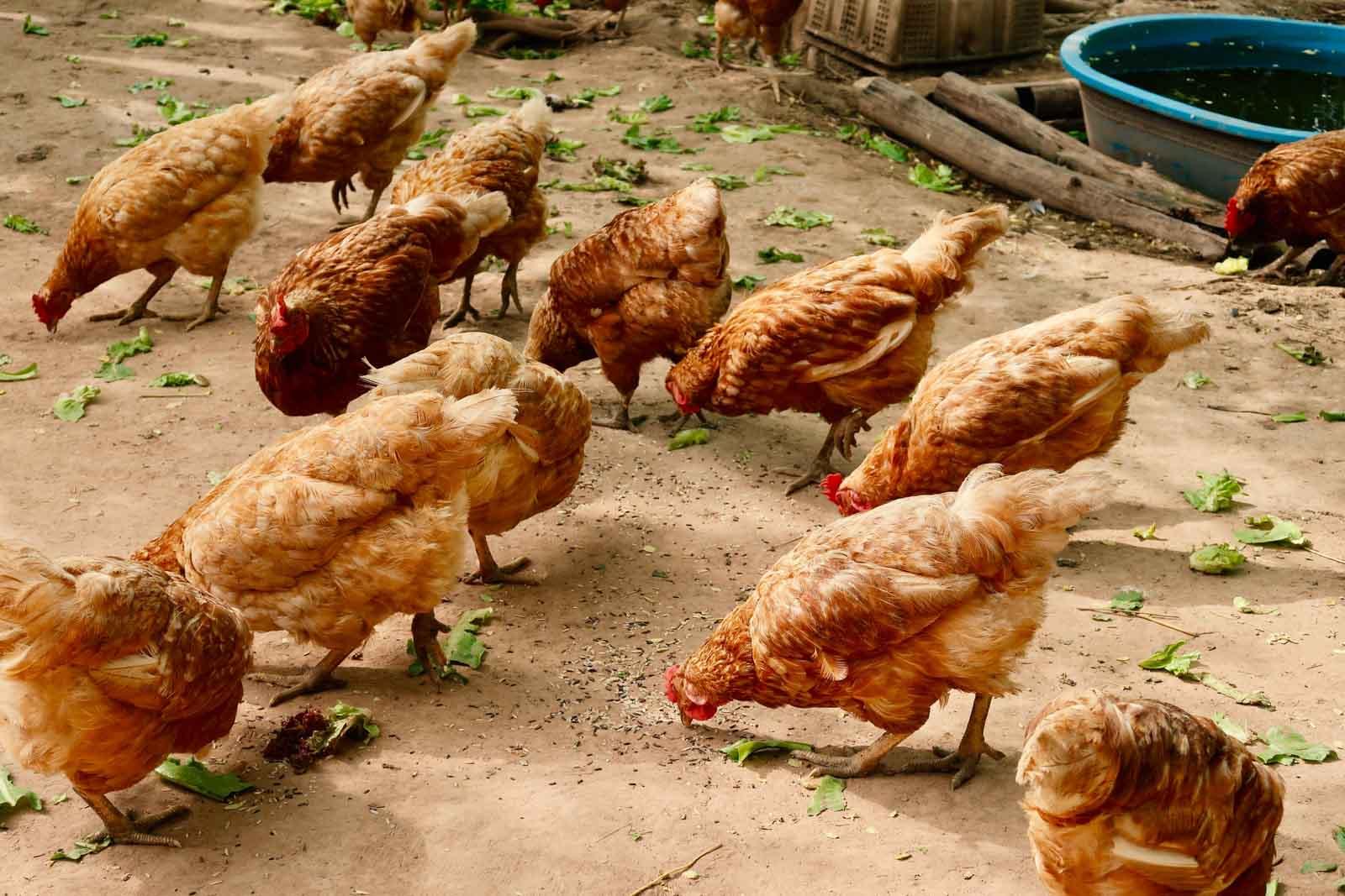 Des poules qui mangent du riz par terre