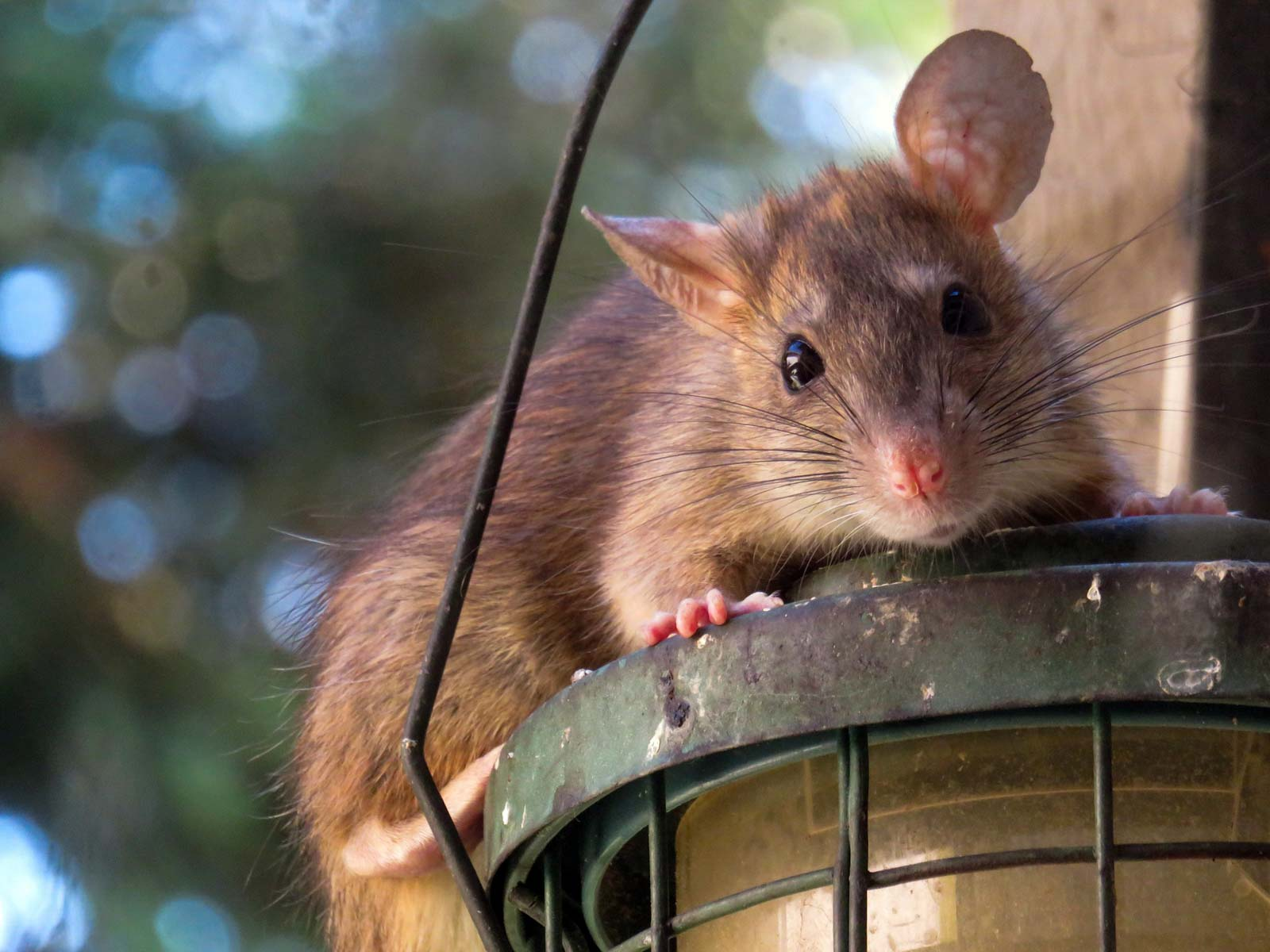 Le rat est un nuisible qui adore manger les graines des poules