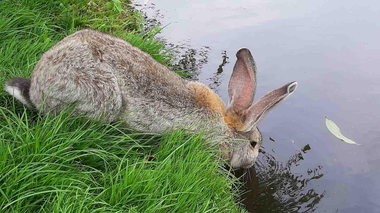 Position naturelle d'un lapin qui boit
