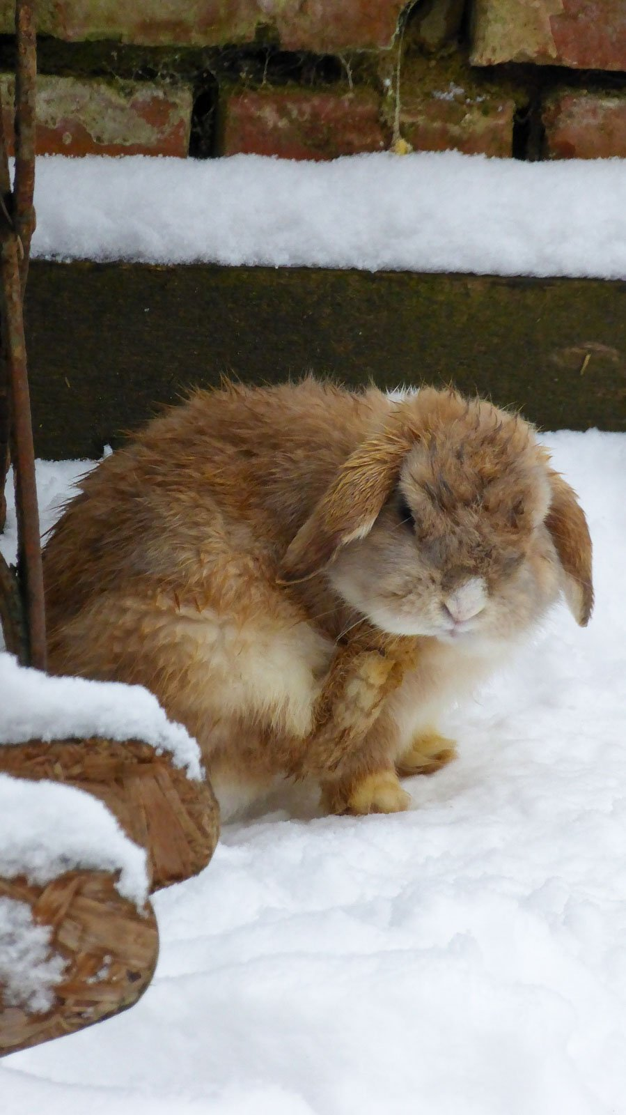 Lapin nain dehors en hiver