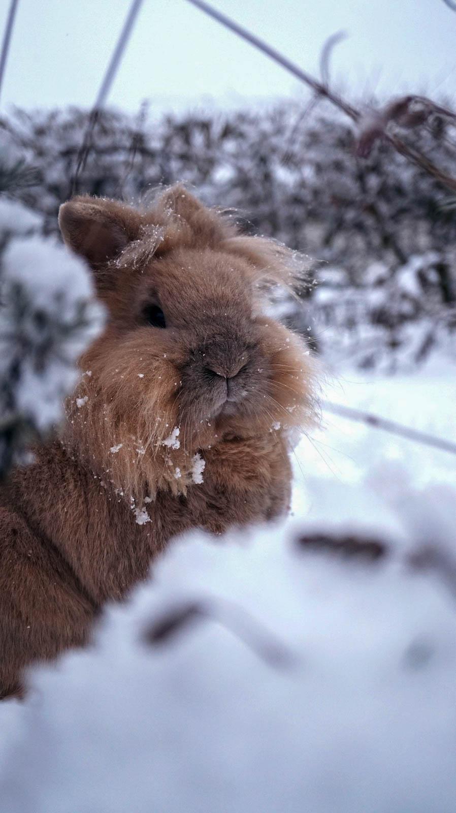 Lapin nain dans la neige