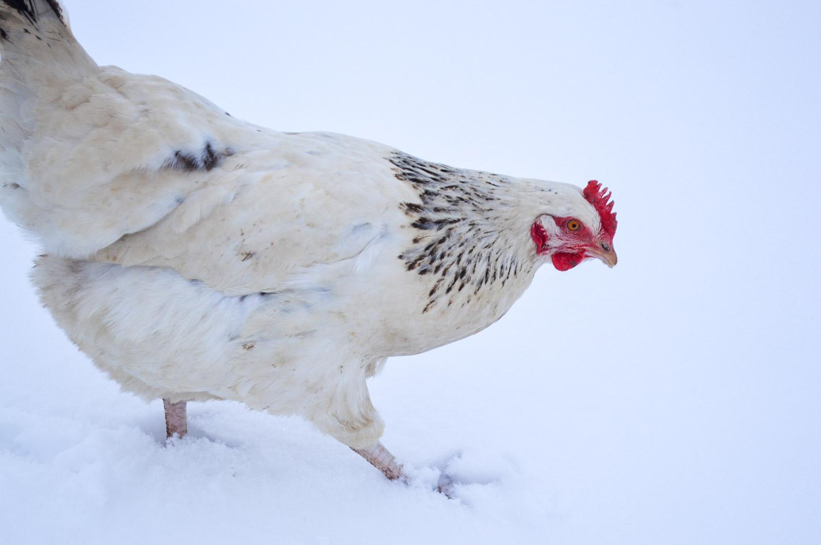 Une poule sussex se promène dans la neige