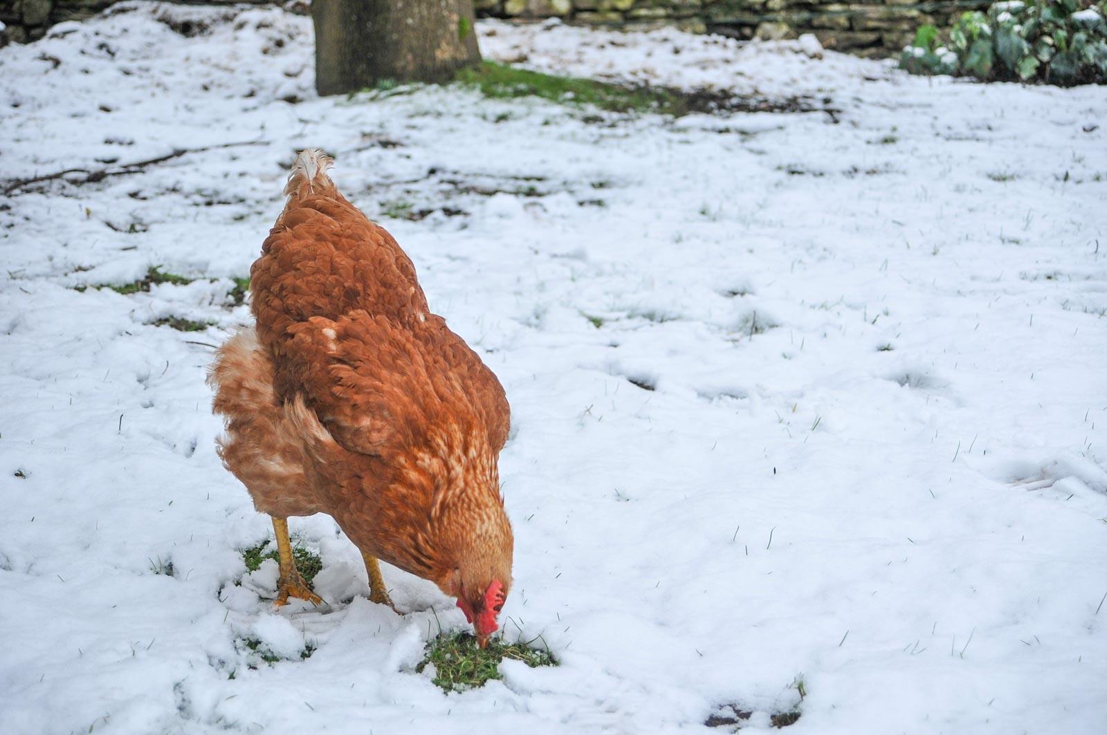 Une poule rousse qui picore l'herbe en hiver