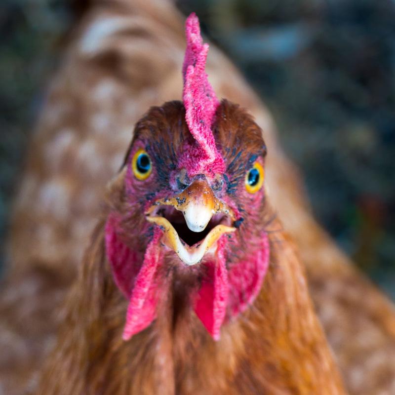 Gros plan sur la tête d'une poule rousse