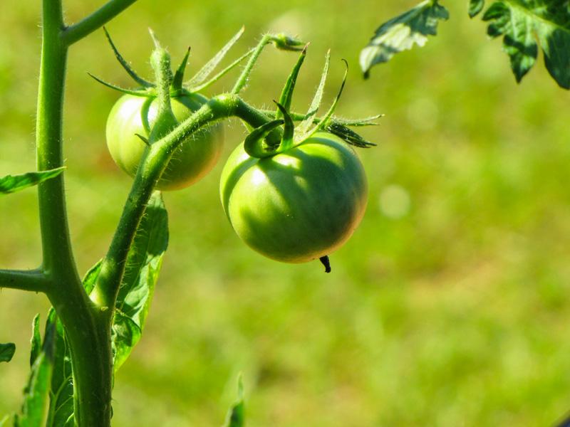 Les tomates vertes sont toxiques pour les poules