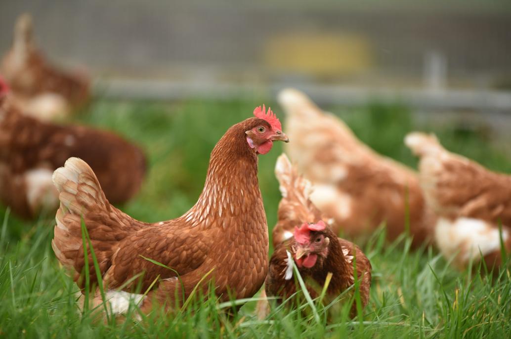 Deux poules mangent dans un enclos herbeux