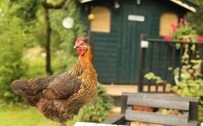 J'installe des poules dans mon jardin : quels équipements de base ?