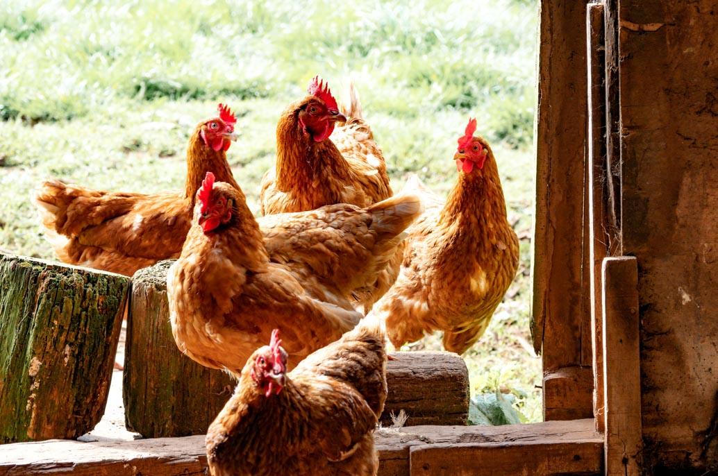 4 poules devant poulailler