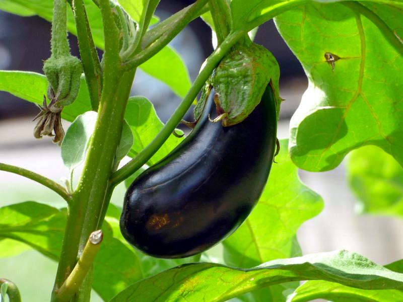 L'aubergine crue est un aliment toxique pour les poules