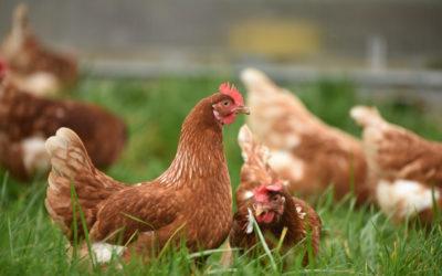 Comment facilement nourrir vos poules pondeuses au quotidien ?