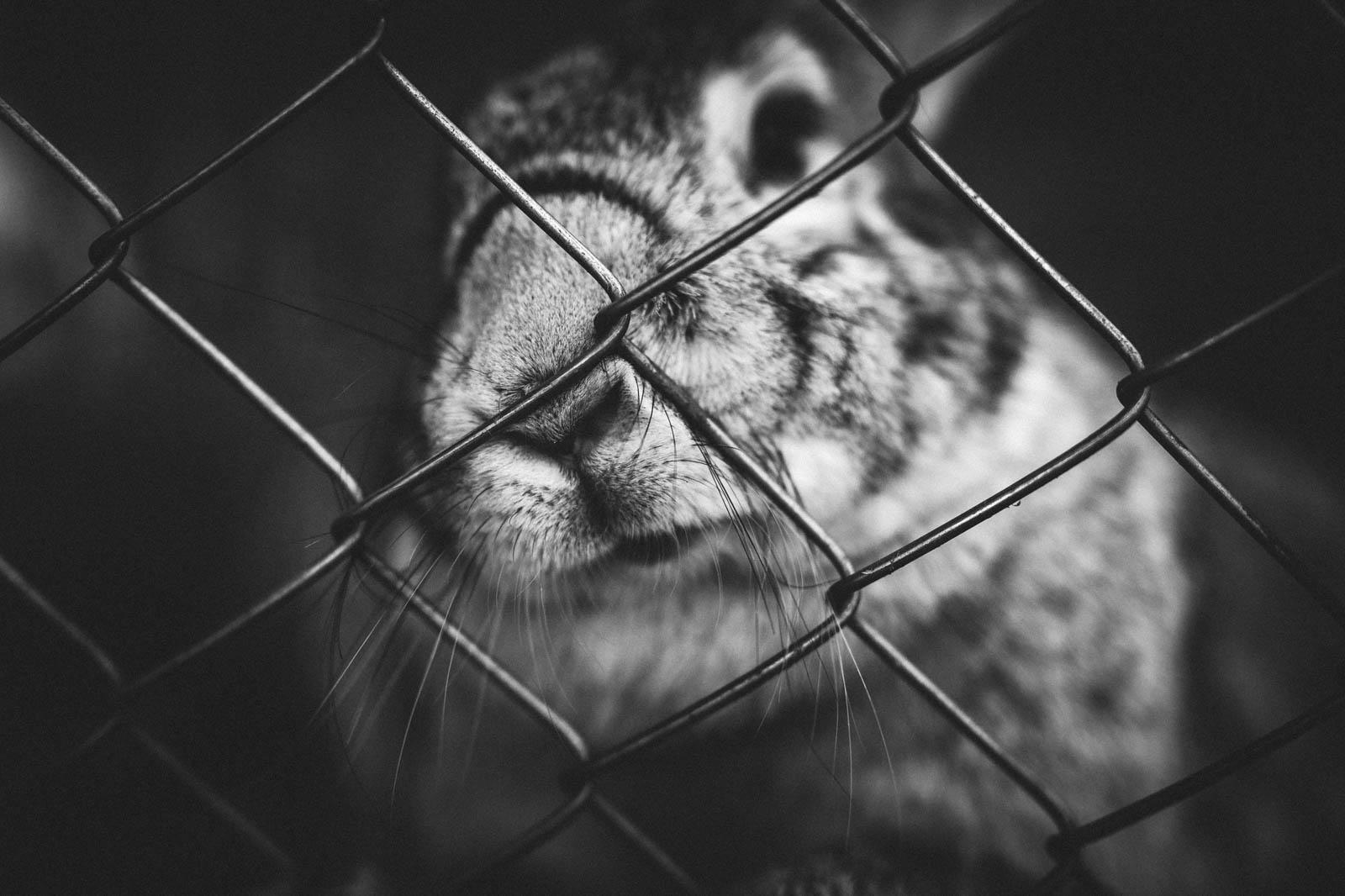 Lapin enfermé dans une cage