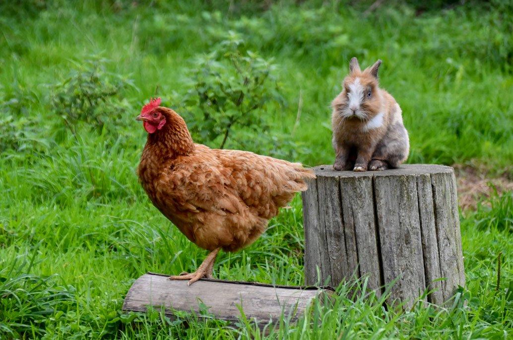 Cohabitation entre une poule et un lapin