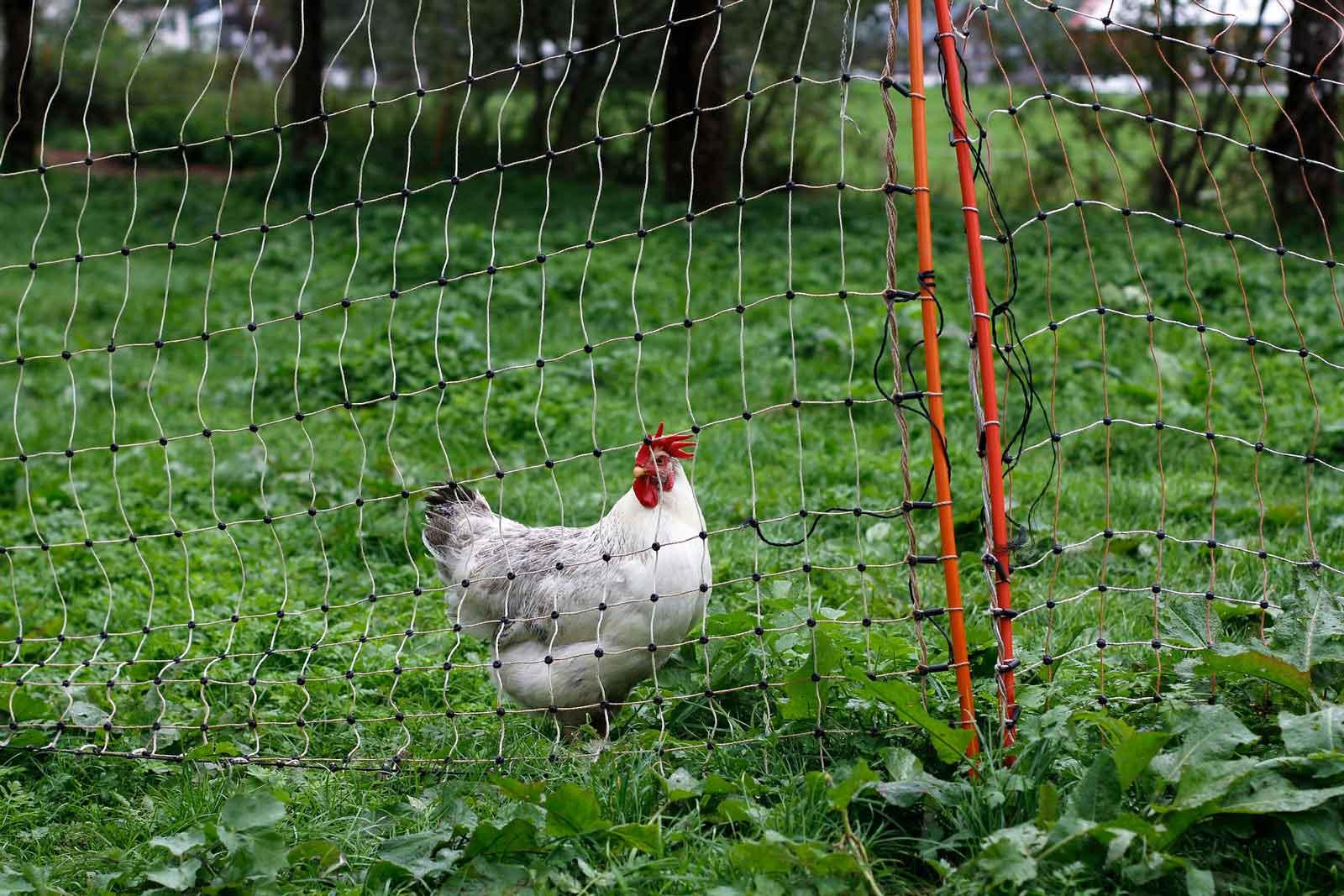Filet de séparation pour les poules