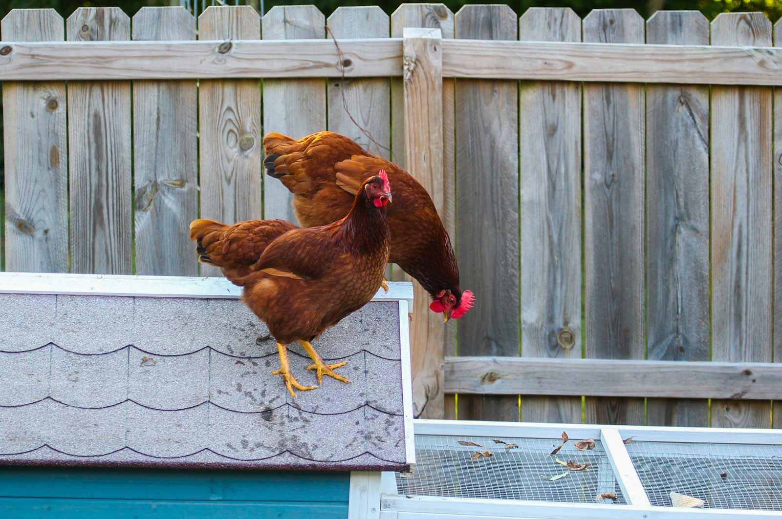 Poules sur le toit de leur poulailler