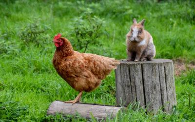 Lapins et poules peuvent-ils cohabiter dans le jardin ?