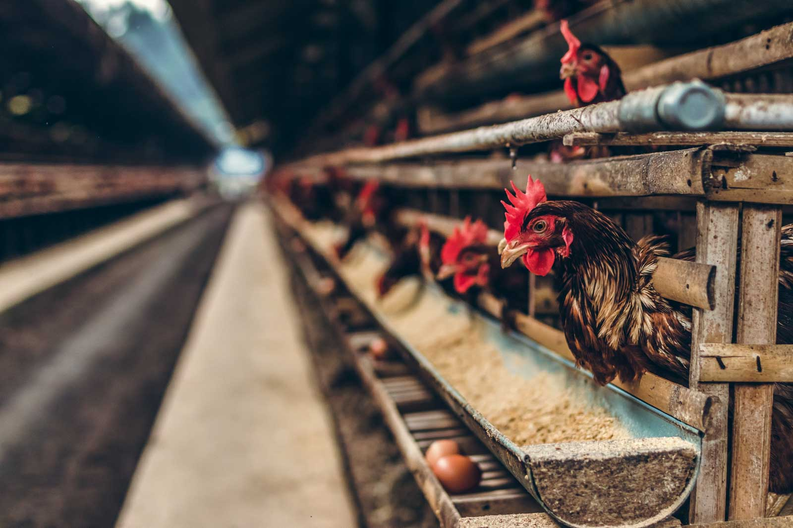 Elevage industriel de poules