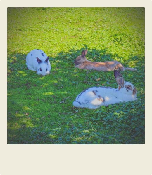Lapins couchés dans leur enclos