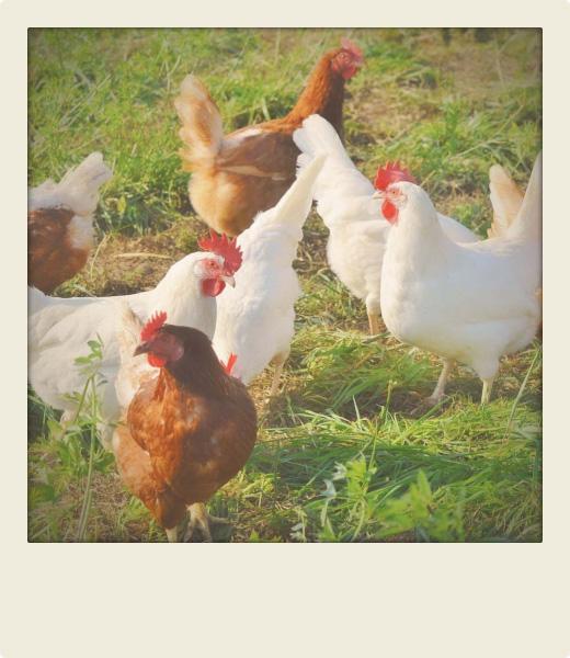 polaroid de poules dans un jardin