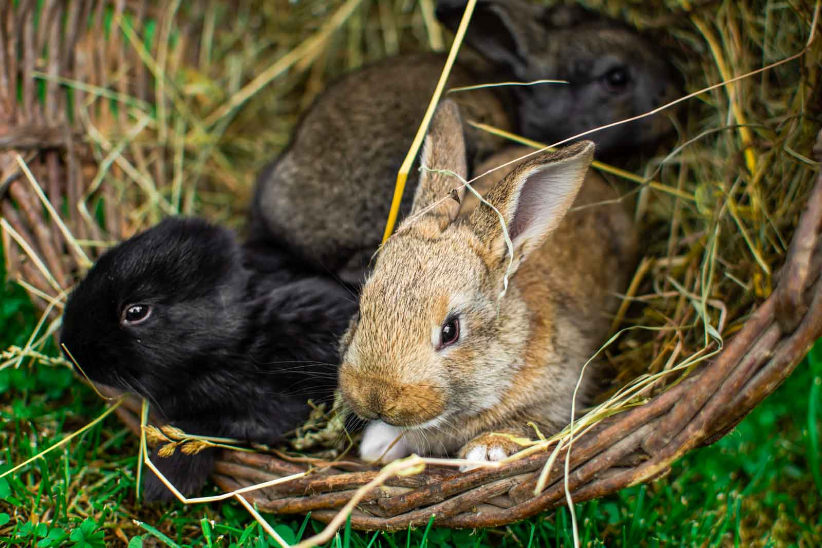 Lapins se protégeant de l'ombre dans un tunnel en osier
